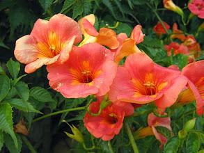 Photo: Trombeta da China (Campsis grandiflora)