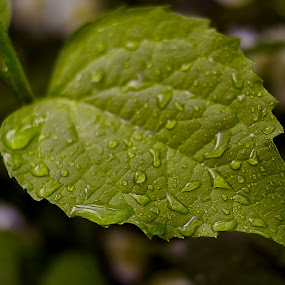 Green leaves by Jonicus Dudarev - Nature Up Close Leaves & Grasses ( rain drop )