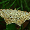 Angel Moth