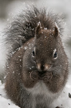 Photo: Brown squirrel eating sunflower seeds