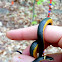 Northern ring-necked snake