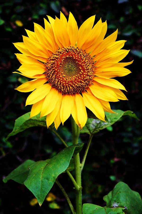 Helianthus by Musashi Vai - Novices Only Flowers & Plants
