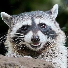 Raccoon 975~Q by Raphael RaCcoon - Animals Other Mammals