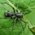 Ant-mimicking Sac Spider.