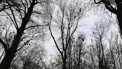 Photo: Le domaine des corbeaux (corbeaux freux ou corneilles noires ?). Quel boucan !
