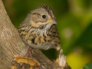 Photo: Lincolin's Sparrow