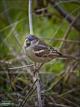 Photo: Bird N°2 - House Sparrow ♂ Latin: Passer domesticus