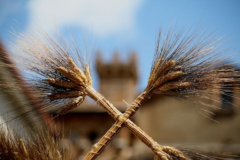 spighe di grano di rino_savastano