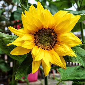 Sunflower  by Claudio de Freitas Photography - Flowers Flower Gardens ( mobilography, london, color, colorful, mitcham, 2015, mobile photos, sunflower, claudiodefreitasphotography, galaxy s6, photography, photooftheday,  )