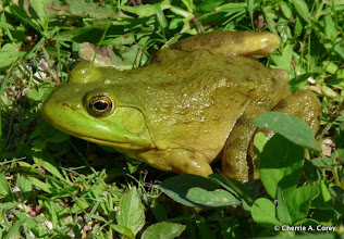 Photo: Green frog