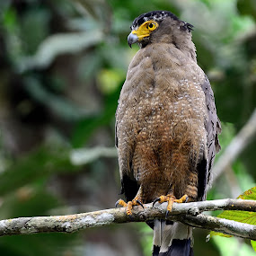 Crested Serpent-eagle by Azmi Jailani - Animals Birds