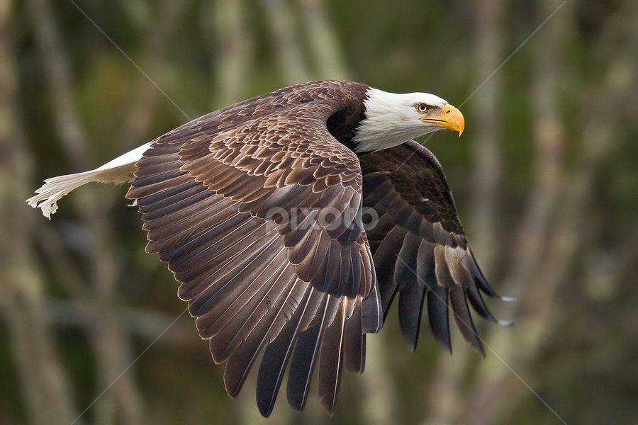 Bald Eagle by Herb Houghton - Animals Birds ( eagle, bird of prey, bald eagle, raptor )