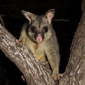 Possum Eyes by Deborah Bisley - Animals Other Mammals ( brown eyes, staring, brush tail possum, sitting in tree, pink nose, possum,  )