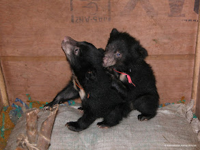 Photo: Bear cubs going to a better life with International Animal Rescue