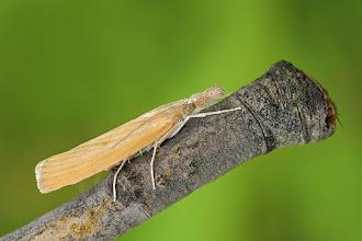 Photo: Pediasia luteella  http://lepidoptera-butterflies.blogspot.com/