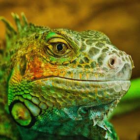 Jurassic park. I'm back! by Dmitry Samsonov - Animals Reptiles ( iguana,  )