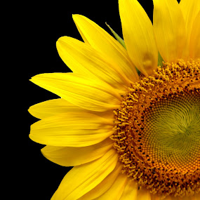 Half Of Sun by Benyamin Kristiawan - Nature Up Close Flowers - 2011-2013 ( nature, sun flower, natural, yellow flower, flower,  )