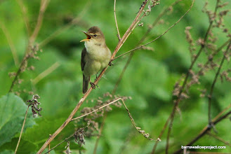 Photo: reed warbler (Acrocephalus domes)...a really amazing singer!