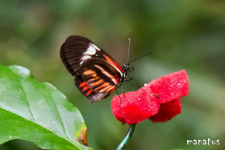 manatus mariposa espiritrompa