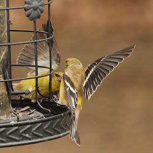 canary salute NW.jpg