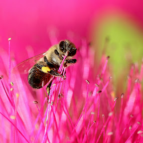 Bee - holding on! by René Wright - Nature Up Close Other Natural Objects ( flying insects, colourful, bee, flower, western cape,  )