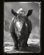 Photo: White Rhino