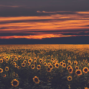 Sunflower by Ionel Covariuc - Flowers Flowers in the Wild ( picture, sunset, sunflower, landscape, flower )