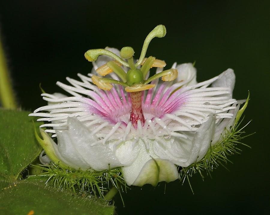 Flower by Paramasivam Tharumalingam - Flowers Flowers in the Wild