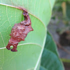 Commander Butterfly (pupa)