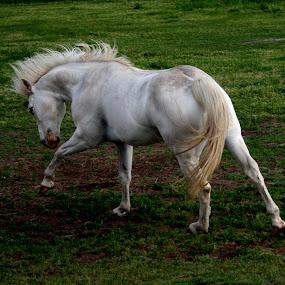 White Cloud by Karen Harrison - Animals Horses (  )