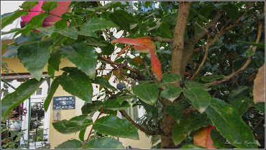 Photo: Mahonia (Mahonia aquifolium) din Turda, Str. Zambilelor, spatiu verde - 2019.07.19