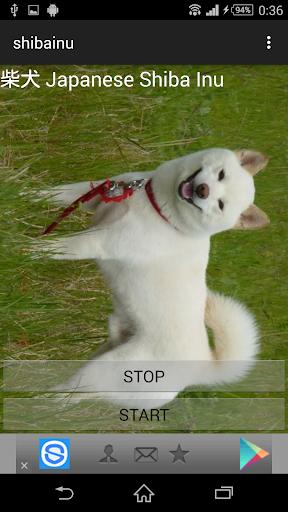 犬鳴き声柴犬