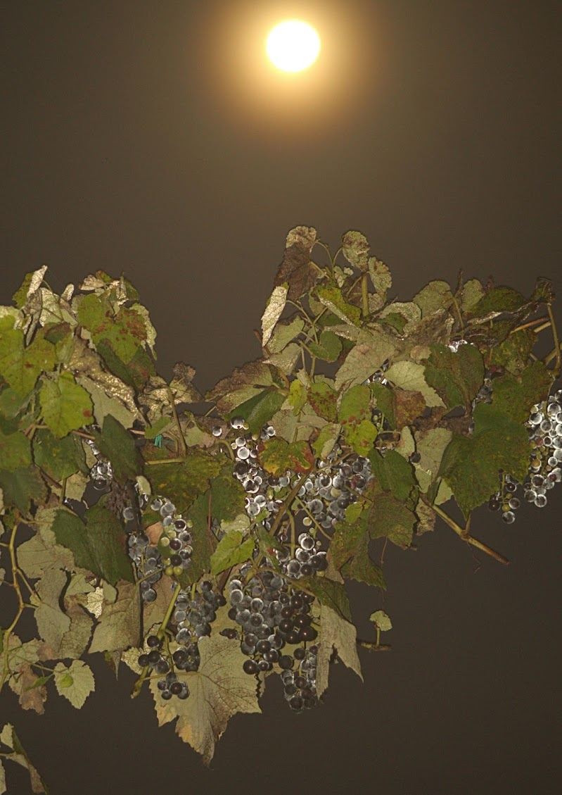 grappoli alla luna di clarin65