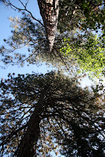 Photo: Big cedar trees abound