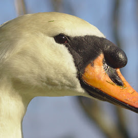 Swan Profile by Anthony Brown - Animals Birds ( nature, swan, profile, bird, animal )
