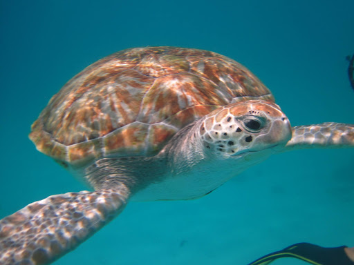 A sea turtle that swam tantalizingly close by, just off the beach at The Boatyard.