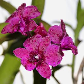 Orchid by Paramasivam Tharumalingam - Flowers Flower Gardens