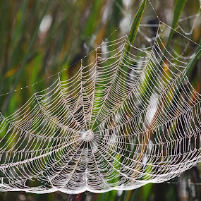 Wide Web by Keith Heinly - Nature Up Close Webs ( wetland, florida, web, spider, morning )