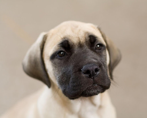 Mastiff Dog Live Wallpaper