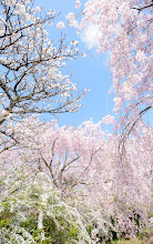 """Photo: This photo appeared in an article on my blog on Apr 20, 2013. この写真は4月20日ブログの記事に載りました。 """"Kyoto's Amazing Haradanien Garden, Part 1"""" http://regex.info/blog/2013-04-20/2248"""