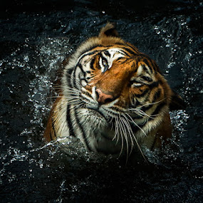 by Sugeng Sutanto - Animals Lions, Tigers & Big Cats
