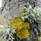 Maritime sunburst lichen with oakmoss