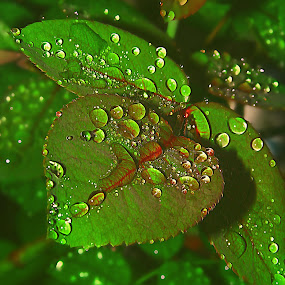 rose leaves by Capucino Julio - Nature Up Close Leaves & Grasses ( rose, nature, green, leaves, droplets )