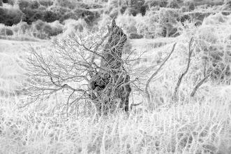 Photo: The Ancient Oak (Clive Haynes)