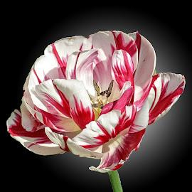 MGI tulip 10 by Michael Moore - Flowers Single Flower