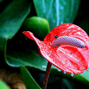 FLR11 by Anup Kumar Adhikari - Flowers Single Flower