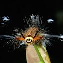 Caterpillar of Lappet Moth