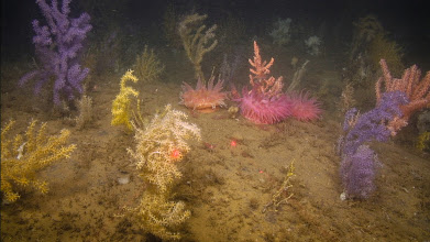 Photo: Bright purple, yellow and pink corals illustrate the diversity of color morphs found in coral species in northern Gulf of Maine (Image courtesy of Gulf of Maine Deep Sea Coral Science Team 2014/NURTEC-UConn/NOAA Fisheries/UMaine)