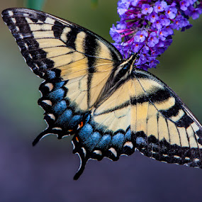 Butterfly Bush by Dave Dabour - Animals Insects & Spiders ( animal, butterfy,  )