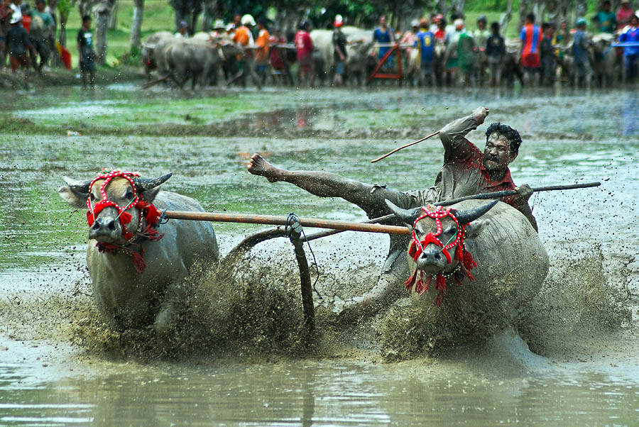 Buffalo Race by Saiful Muslimin - News & Events World Events ( journalism, sports, tourism, travel, culture, human )